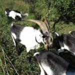 Einsatz von Ziegen am Klusbach Aesch BL